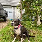 Dog, Dog breed, Canidae, American Pit Bull Terrier, Carnivore, American Staffordshire Terrier, Pit Bull, Snout, Non-sporting Group, Staffordshire Bull Terrier, Rare Breed (dog), Fawn, Companion dog, Terrier, American Bulldog