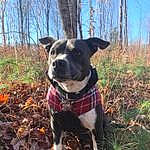 Dog, Dog breed, Canidae, Carnivore, Tree, Snout, Adventure, Leaf, Mountain Cur, American Staffordshire Terrier, Feist, Plant, Fawn, Non-sporting Group, Forest, Catahoula Bulldog, Tail, American Pit Bull Terrier